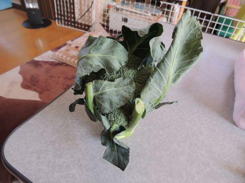 ブロッコリーの葉1