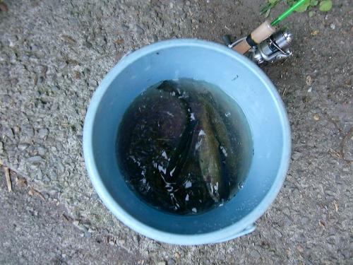 ニジマス大漁