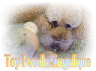 Toy Poodle Angelique