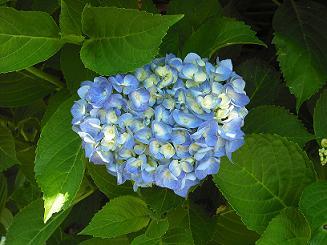 紫陽花2010