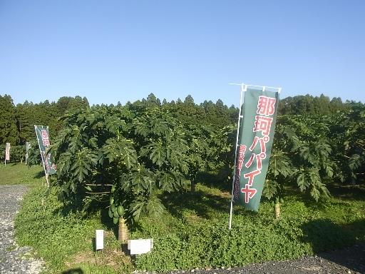 パパイヤの栽培