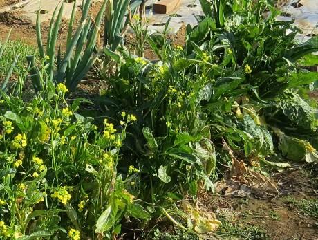 アスパラ菜12月菜園
