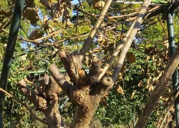 キウイの新枝の基部