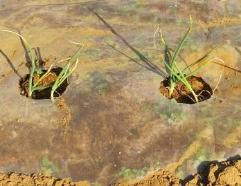 タマネギ2本植え