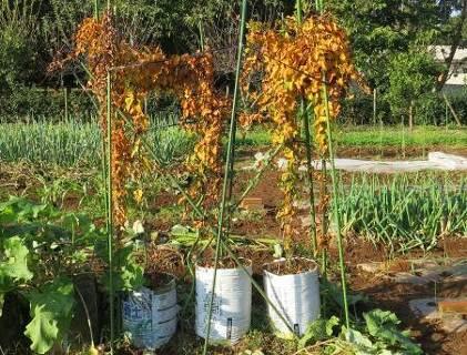 ナガイモ袋栽培11月