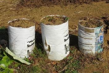 ナガイモ袋栽培収穫前