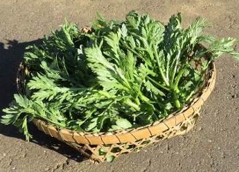 シュンギク1月収穫物