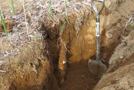 巨大ナガイモ掘り