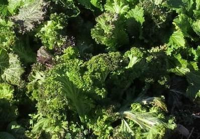ピリピリ菜1月菜園