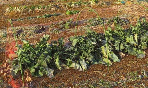 冬のブロッコリー菜園