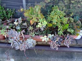多肉植物寄植え~パキベリア 紫麗殿、エケベリア ミニベル、エケベリア 初恋2011.08.30