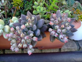 パキべリア紫麗殿(シレイデン)Pachyveria Hummel's Purple=Pachyphytum cv. SHIREIDEN?2011.08.30