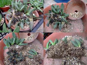 プレイオスピロス 陽光/カヌス (Pleiospilos compactus ssp. canus) 腐り部を除けて植え替えます!2011.09.02