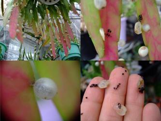 プセウドリプサリス・ラムローサ(Pseudorhipsalis ramulosa =Rhipsalis ramulosa・Red Rhipsalis)白い花が咲き白い実(種)ができます。