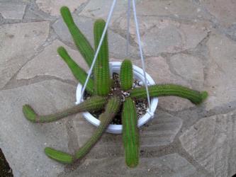 ボリビケレウス・サマイパタヌス(Bolivicereus=Cleistocactus samaipatanus)彩舞柱(さいまいちゅう)2011.09.05