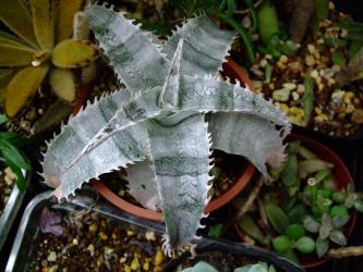 ディッキア マルニエルラポストレー(Dyckia marnier-lapostollei) 日陰に置いていたらしましまになりました!2011.09.14