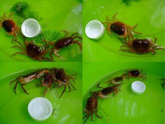 沢蟹たち~水槽掃除タライで待機中wペットボトルキャップと大きさ比べ!2011.09.13