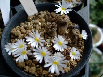 コノフィツム ペルシダム スプリングボク~Conophytum pellucidum(産地~Springbok, Northern Cape, South Africa)勲章玉/秘宝/ペルシダム2011.09.19