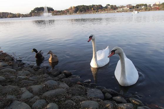 白鳥と水鳥