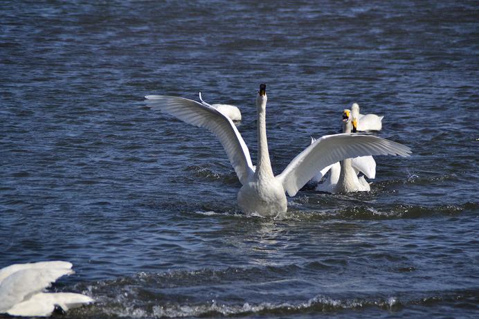 白鳥羽広げる