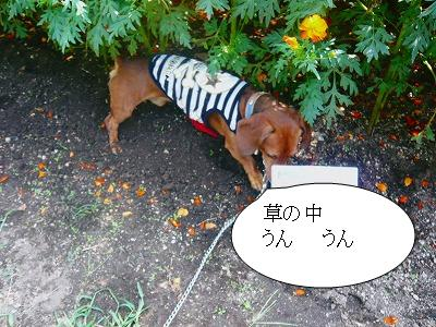 22107コスモス畑 (4)
