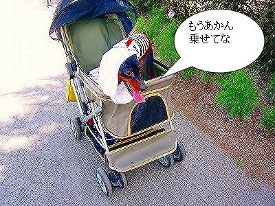 22107コスモス畑 (8)
