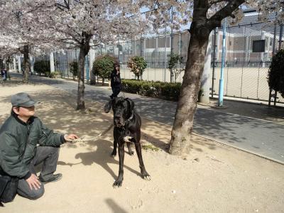 デーン 桜の木の下で