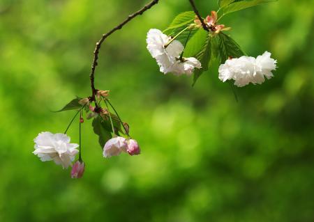 大麻山の八重桜