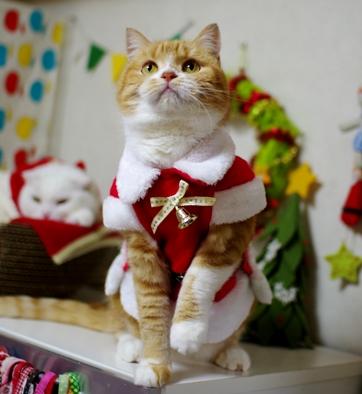 クリスマスはササミを食べる日なの。