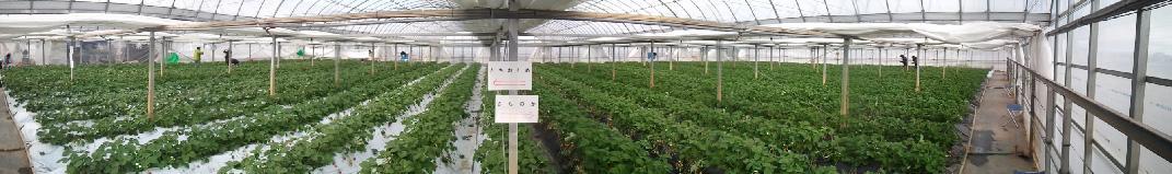 イチゴ園1