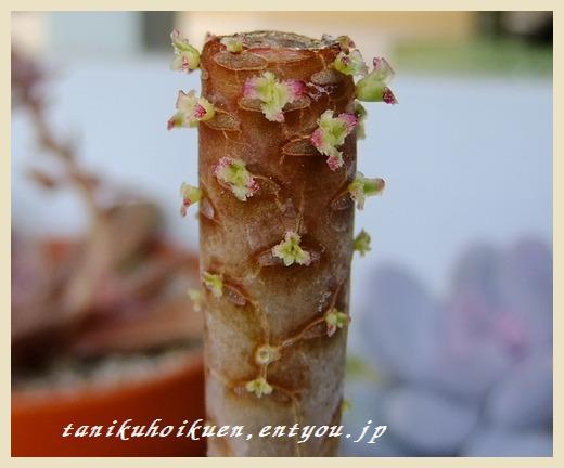 2011_0124多肉0009