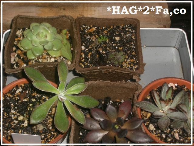 HAG×2 家族で楽しく暮らそう