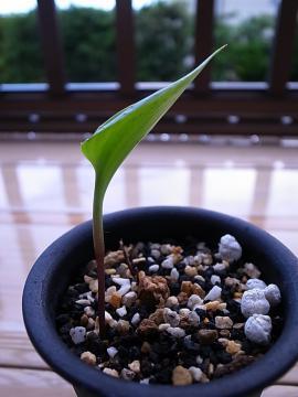 20110917_Eriospermum sp_2