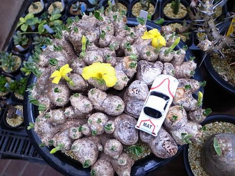 20110917_2011年秋_鶴仙園_サボテン・多肉植物フェア_2