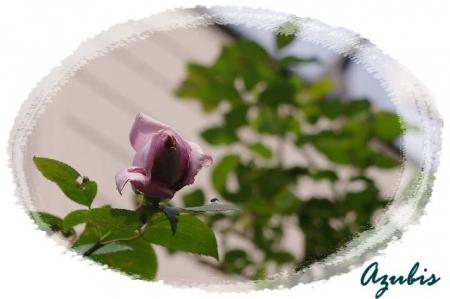 rose1030 032
