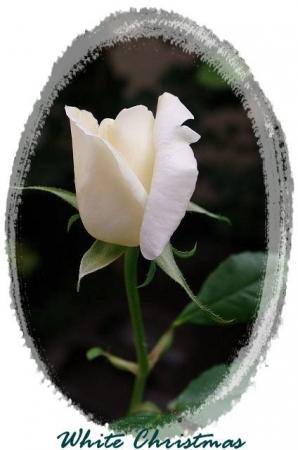rose1030 045