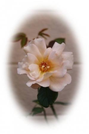 rose1118 013