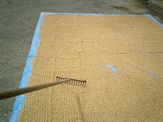 取り除いた種籾
