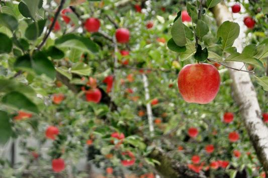 群馬県りんご狩り 172