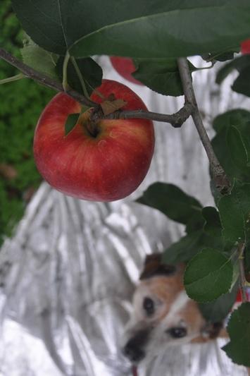 群馬県りんご狩り 065