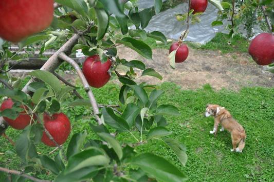 群馬県りんご狩り 139
