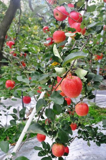 群馬県りんご狩り 064