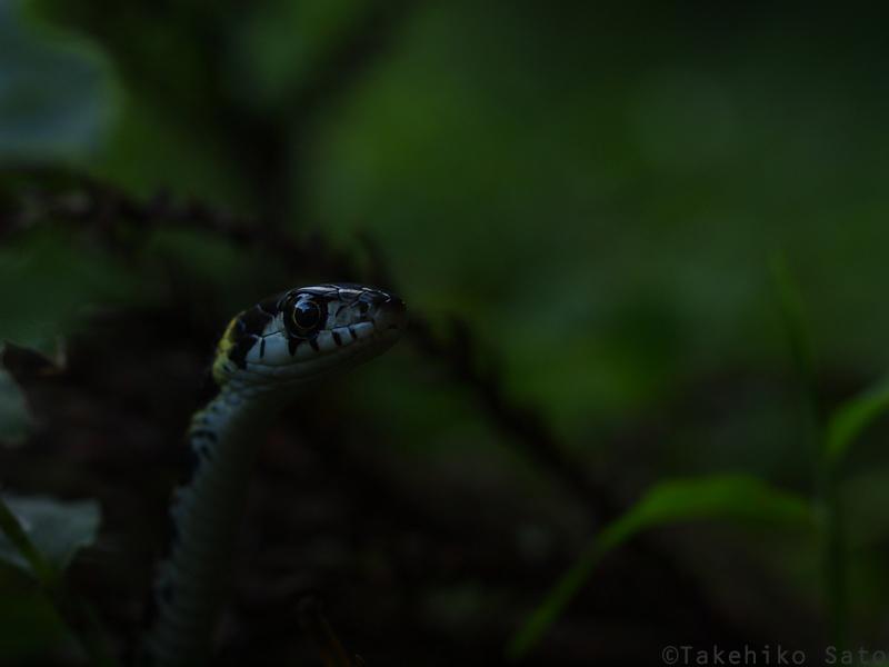 ヤマカガシ幼蛇