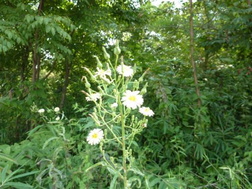 植物65-6