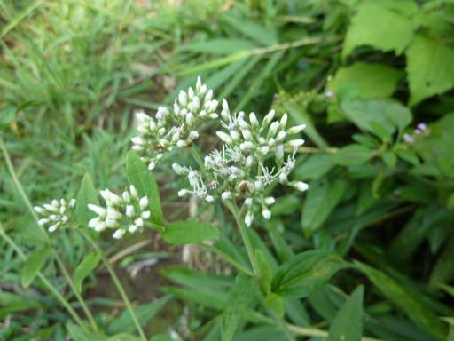 植物65-11
