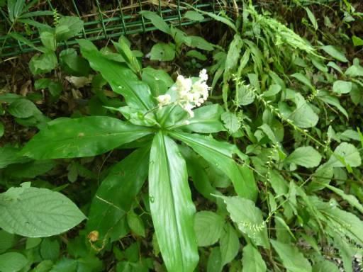 植物65-15