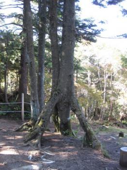 三つ又の樹