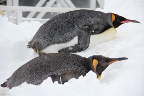 旭山冬ペンギン-6