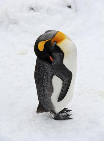旭山冬ペンギン-5