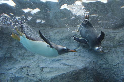 旭山冬ペンギン-3